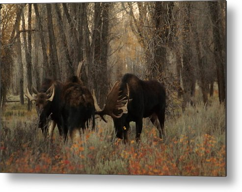 Moose Metal Print featuring the photograph Three Bull Moose Sparring by Jeff Swan