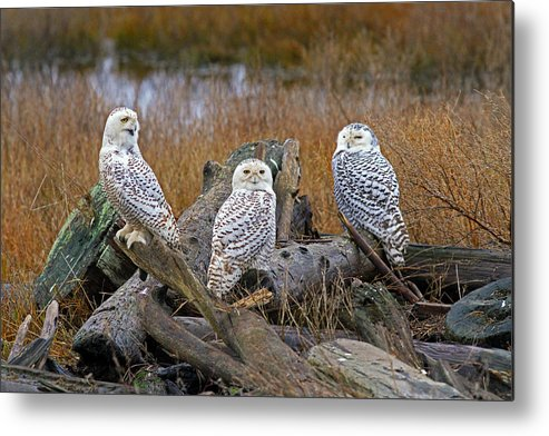 Snowy Owl Metal Print featuring the photograph Three Is A Crowd by Shari Sommerfeld