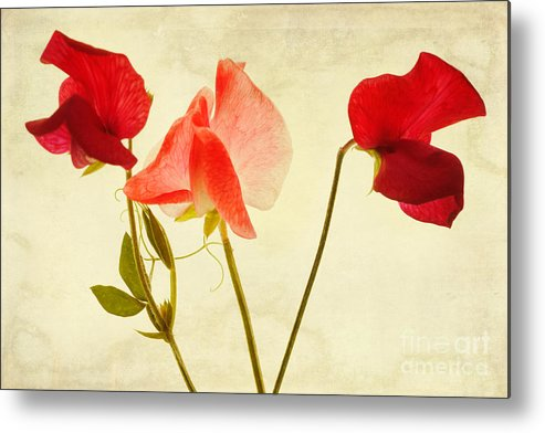 Sweet Peas Metal Print featuring the photograph Three Peas No Pod by John Edwards