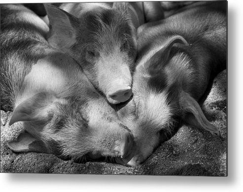 Light Metal Print featuring the photograph Three Piglets Sleeping Against Each by Patrick La Roque