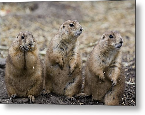 Light Metal Print featuring the photograph Three Prairie Ground Squirrels by Chad Coombs