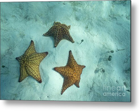 Abundance Metal Print featuring the photograph Three Starfishes On Sandy Seabed by Sami Sarkis