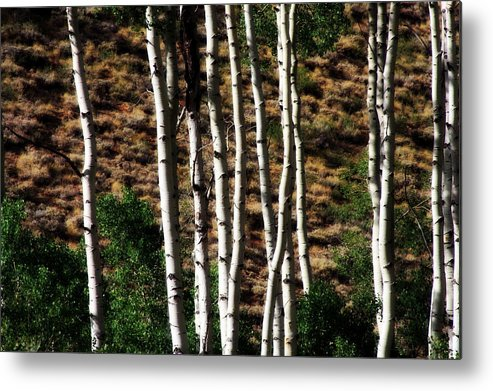 Aspen Trees Metal Print featuring the photograph Through The Aspens by Angie DeShong