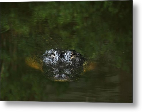 Alligator Metal Print featuring the photograph Tic Tock by Charles Shedd
