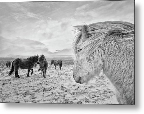 Horses Metal Print featuring the photograph Tough Guys by John Colbensen
