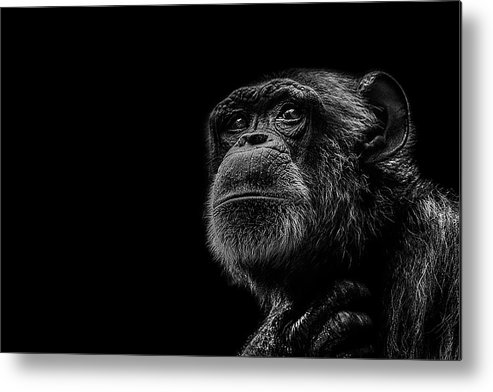 Chimpanzee Metal Print featuring the photograph Trepidation by Paul Neville