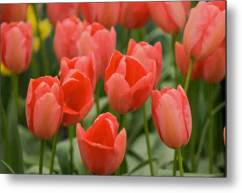 Beauty In Nature Metal Print featuring the photograph Tulips 33 by Ingrid Smith-Johnsen