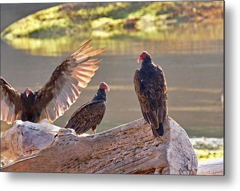 Vultures Metal Print featuring the photograph Turkey Vultures Aka Dracula by Peggy Collins