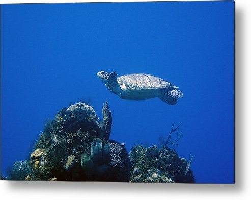 Turtle Metal Print featuring the photograph Turtle Flying Underwater by Jim Murphy