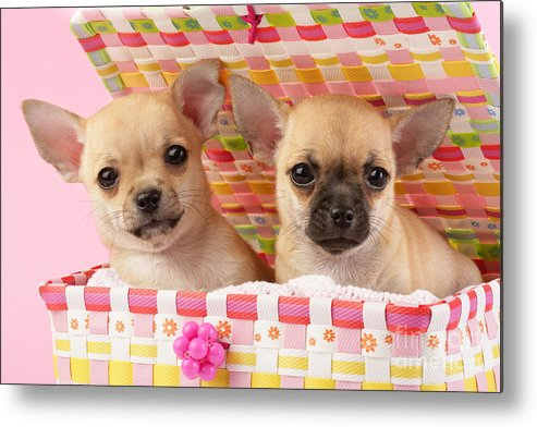 Puppy Metal Print featuring the digital art Two Chihuahuas by Greg Cuddiford