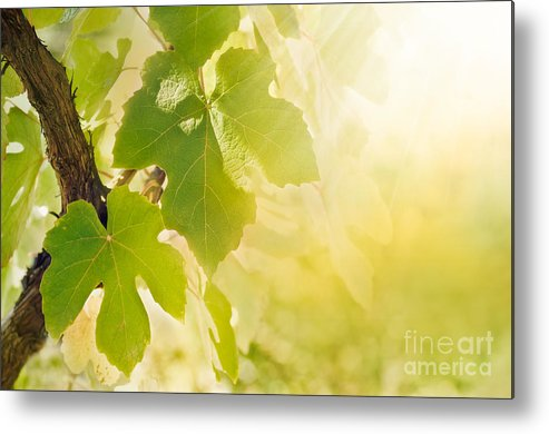 Juicy Metal Print featuring the photograph Vine Leaf by Mythja Photography