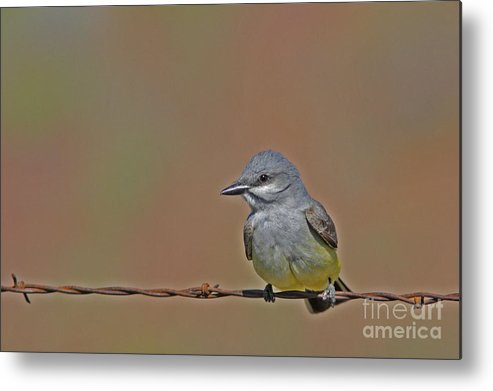 Western Kingbird Metal Print featuring the photograph Waiting by Gary Wing