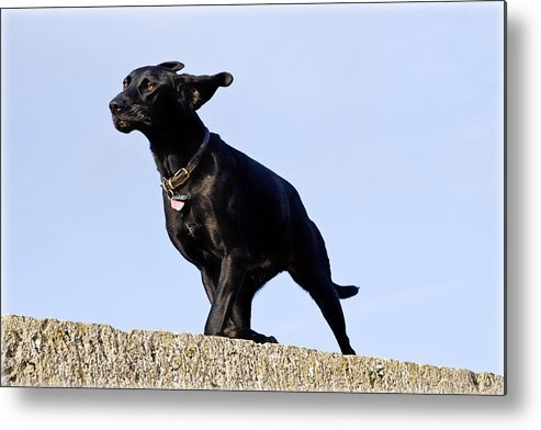 Dog Metal Print featuring the photograph Walking Into The Wind by Susie Peek