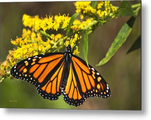 Monarch Butterfly Metal Print featuring the photograph Wandering Migrant Butterfly by Christina Rollo