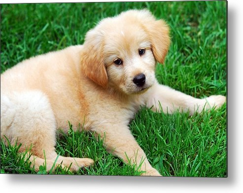 Golden Retriever Puppy Metal Print featuring the photograph Warm Fuzzy Puppy by Christina Rollo