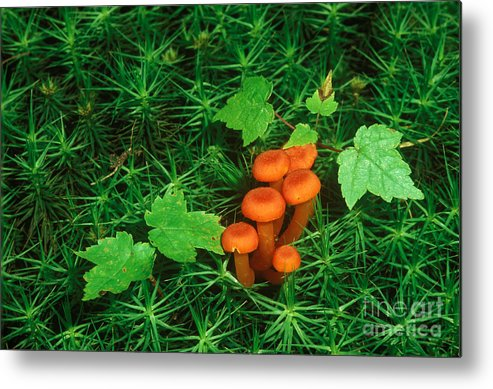 Waxy Cap Metal Print featuring the photograph Wax Cap Fungi by Jeff Lepore