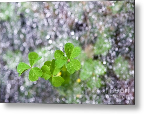 Spider Web Metal Print featuring the photograph Web And Clover by Cindy Tiefenbrunn