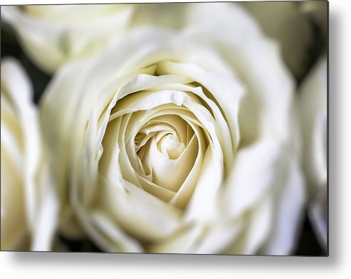 White Metal Print featuring the photograph Whie Rose Softly by Garry Gay