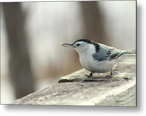 Southland Park Metal Print featuring the photograph White-breasted Nuthatch by Helen Bobis