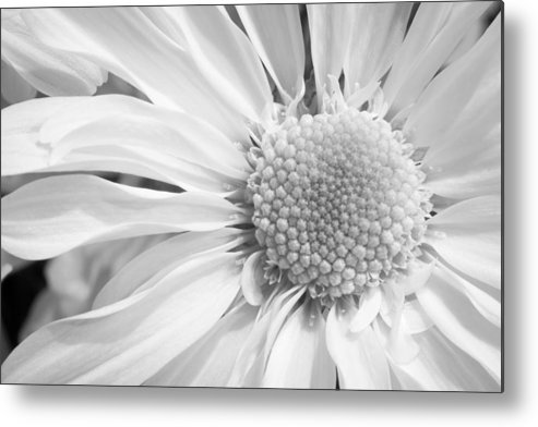 3scape Photos Metal Print featuring the photograph White Daisy by Adam Romanowicz