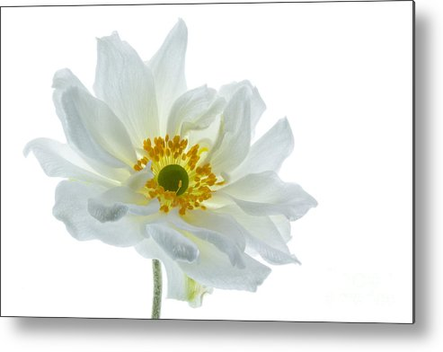 Anemone Metal Print featuring the photograph White Double Japanese Anemone by Ann Garrett