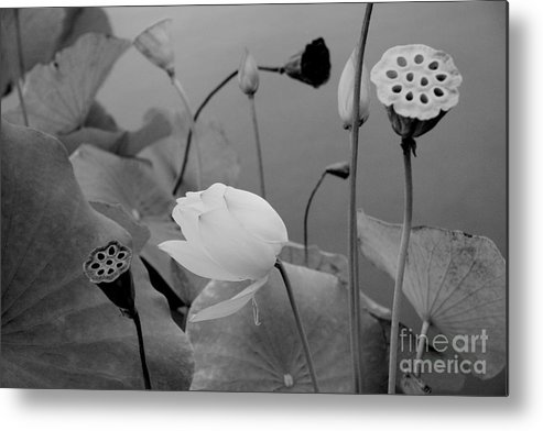 Nature Metal Print featuring the photograph White Lotus Flowers In Balboa Park San Diego by Julia Hiebaum