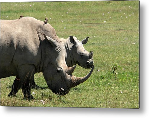 Rhinoceros Metal Print featuring the photograph White Rhino Mother And Calf by Aidan Moran