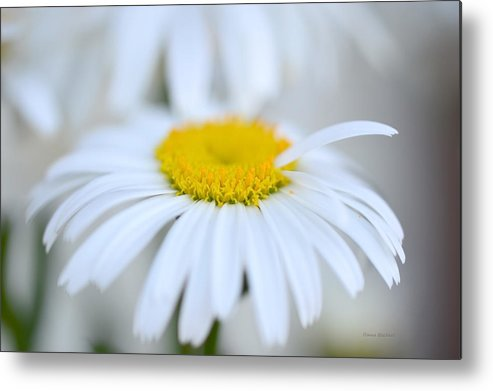 Daisy Metal Print featuring the photograph White Wedding by Donna Blackhall