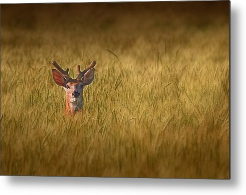 Deer Metal Print featuring the photograph Whitetail Deer In Wheat Field by Tom Mc Nemar