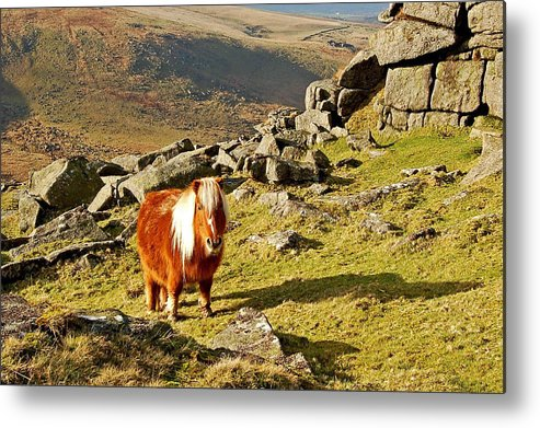Dartmoor Metal Print featuring the photograph Wild Dartmoor Pony by North Devon Photography