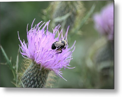 Bee Metal Print featuring the photograph Wild Nectar by Bonfire Photography