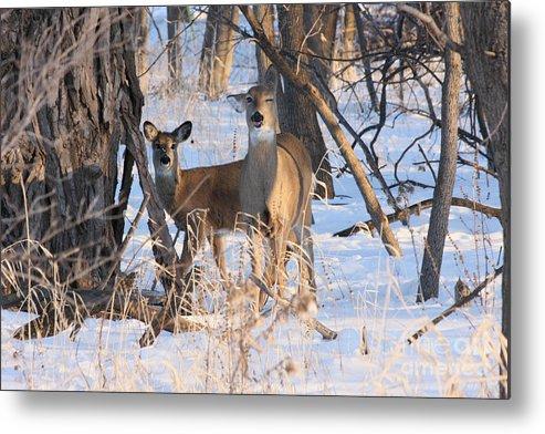 Deer Metal Print featuring the photograph Wink by Lori Tordsen