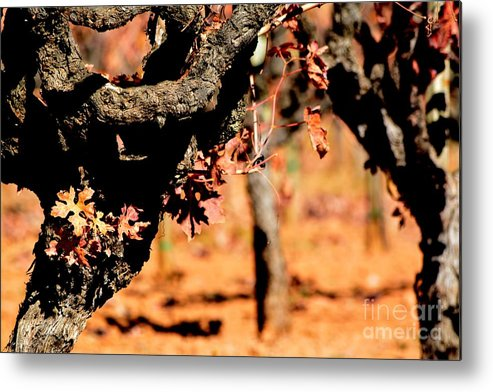 Winter Vines Metal Print featuring the photograph Winter In The Vineyard by Beth Sanders