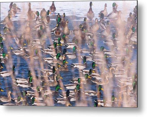 Ducks Metal Print featuring the photograph Wintering Mallards by Wayne Vedvig