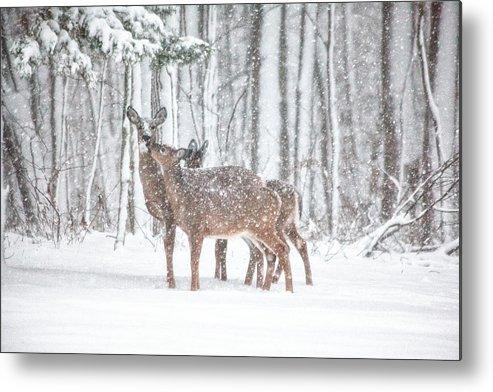 Deer Metal Print featuring the photograph Winters Love by Karol Livote