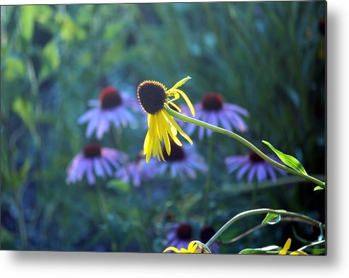 Yellow And Purple Coneflowers Metal Print featuring the photograph Yellow And Purple Coneflowers by Evelina Charpentier