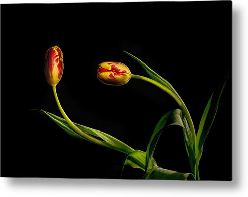 Flower Metal Print featuring the photograph Yellow And Red Tulips On Black - Reaching Out by Leah McDaniel