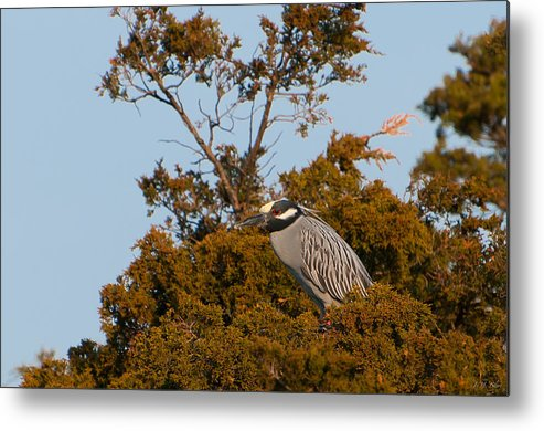 Heron Metal Print featuring the photograph Yellow Crowned Night Heron by J H Clery