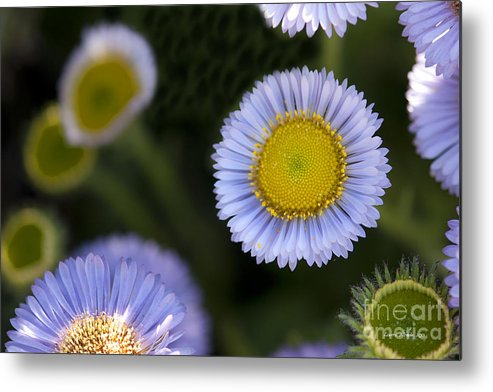 Flowers Metal Print featuring the photograph Yellow In The Middle by Artist and Photographer Laura Wrede