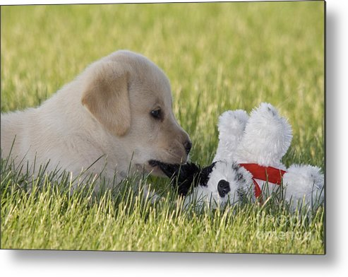 Yellow Lab Puppy With Stuffed Animal Metal Print By Linda