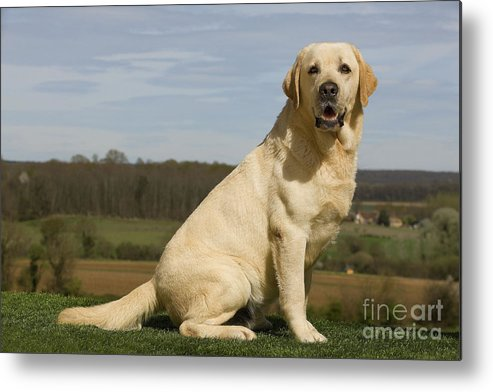 Labrador Retriever Metal Print featuring the photograph Yellow Labrador Dog by Jean-Michel Labat