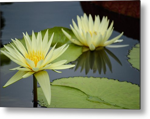 Flower Metal Print featuring the photograph Yellow Lotus by Caroline Blau