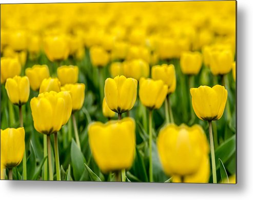 Washington State Metal Print featuring the photograph Yellow On My Mind by Puget Exposure