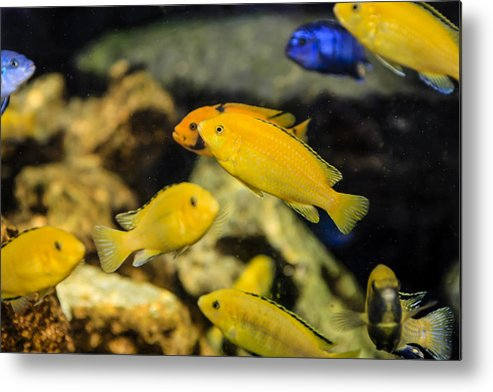 Electric Metal Print featuring the photograph Yellow Reef Fish by Chris Smith