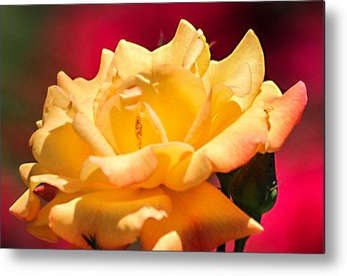 Flower Metal Print featuring the photograph Yellow Rose by Brett Beaver