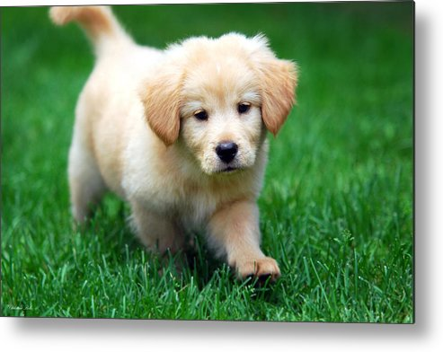 Cute Puppy Metal Print featuring the photograph You're Only Young Once by Christina Rollo