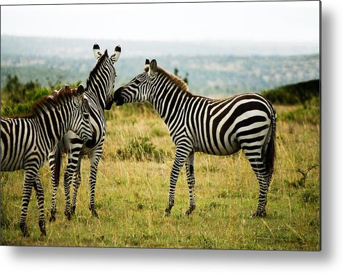 Zebra Metal Print featuring the photograph Zebra by Amy Warr