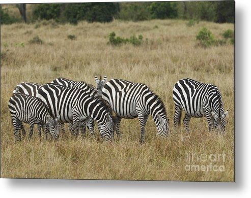 Africa Metal Print featuring the photograph Zebra On Masai Mara Plains by John Shaw
