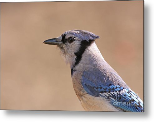 Blue Jay Metal Print featuring the pyrography Blue Jay Posing by David Cutts