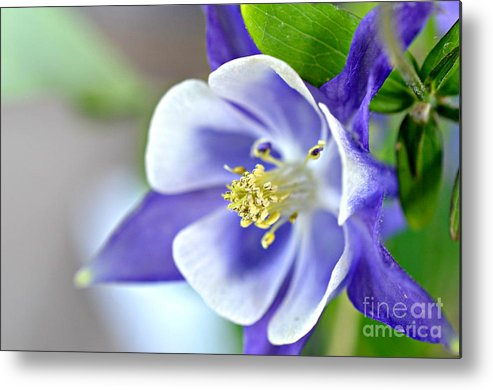 Purple Columbine Bloom Prints Metal Print featuring the photograph Purple Columbine Bloom by Lila Fisher-Wenzel